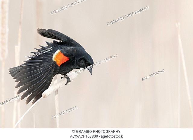 Red-winged Blackbird, displaying in cattail marsh, early morning, Point Pelee National Park, Ontario, Canada