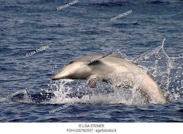 Juvenile Bottlenose dolphin leaping at surface Tursiops truncatus note pink belly Azores, Atlantic Ocean