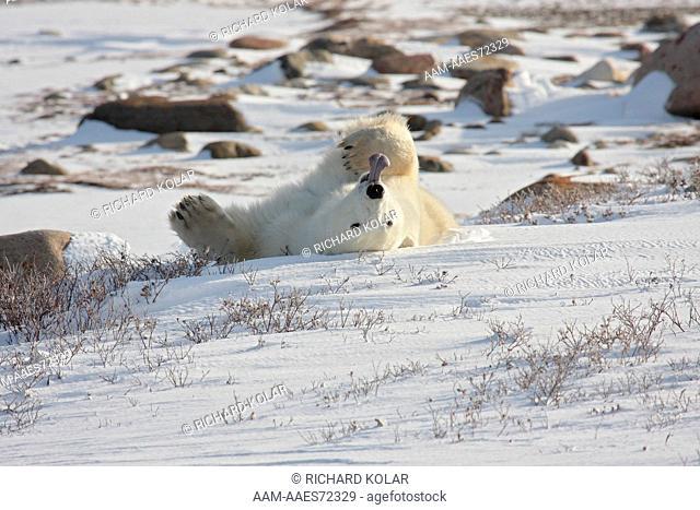 Polar Bear (Thalarctos maritimus) Churchill, Hudson Bay, Manitoba, Canada, Friday, October 31, 2008, digital capture