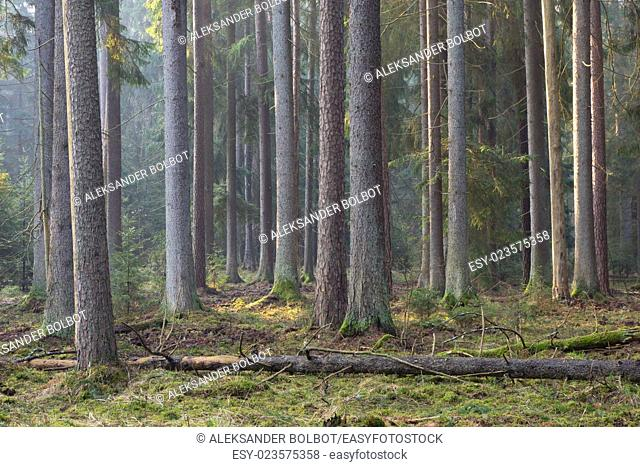 Sunbeam entering rich coniferous forest misty morning with old spruce and pine trees, Bialowieza Forest, Poland
