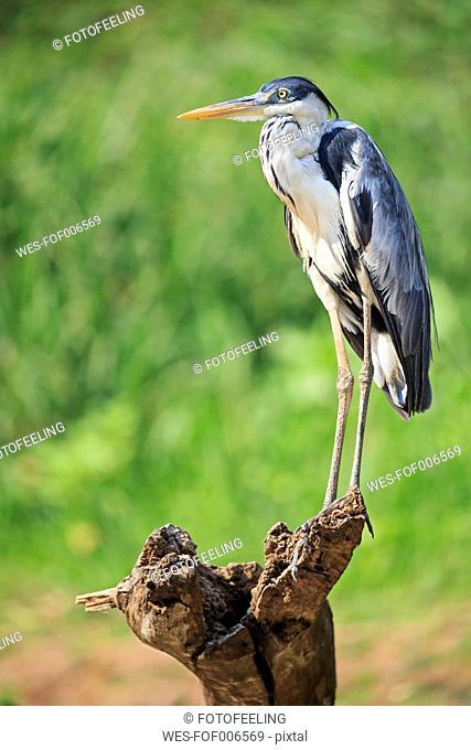 South America, Brasilia, Mato Grosso do Sul, Pantanal, Cocoi Heron, Ardea cocoi