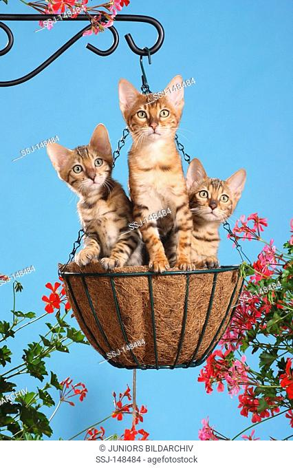 three young Bengal cats in hanging basket