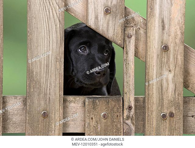 DOG. Black Labrador puppy with it head thought a gate, ( 9 weeks old ) 9 weeks old DOG. Black Labrador puppy with it head thought a gate