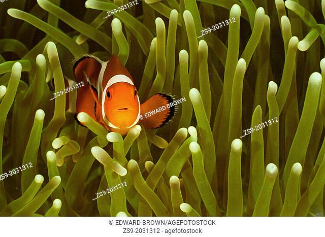 Common clownfish - Amphiprion ocellaris, Lankayan, Malaysia
