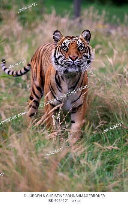 Siberian Tiger (Panthera tigris altaica), adult, native to Asia, captive, England, United Kingdom