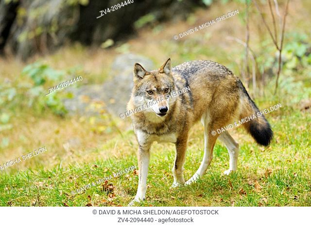 Close-up of a Eurasian wolf (Canis lupus lupus) in the Bavarian Forest, Germany
