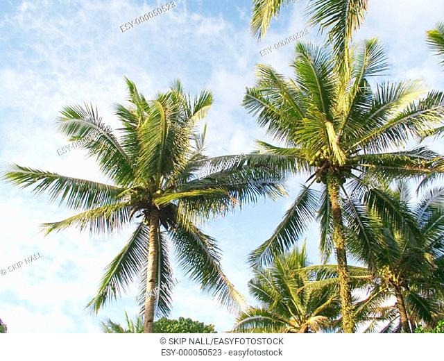 Coconut palms. Philippines