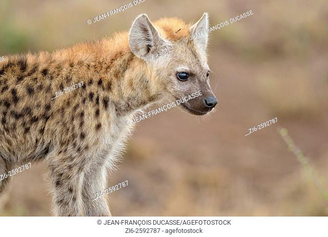 Spotted hyena (Crocuta crocuta) cub, standing, Kruger National Park, South Africa, Africa