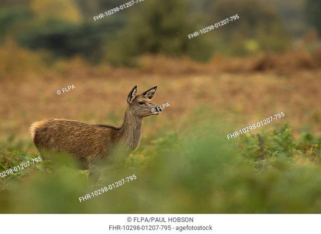 Red Deer (Cervus elaphus) calf, standing amongst bracken, Bradgate Park, Leicestershire, England, October