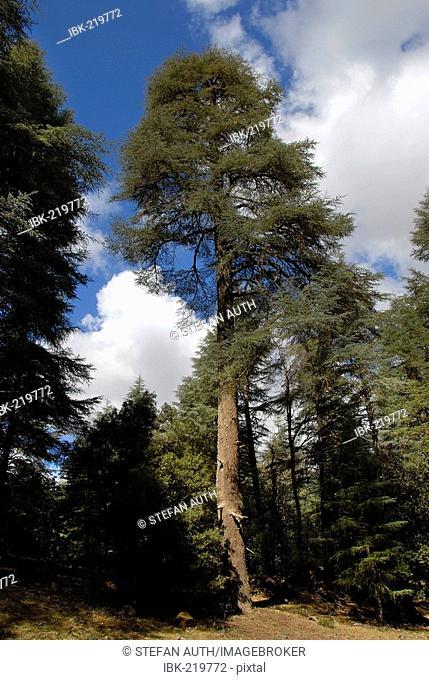 High tree Atlas Cedar Cedrus atlantica in the forest Foret de Cedres Middle Atlas Moyen Morocco