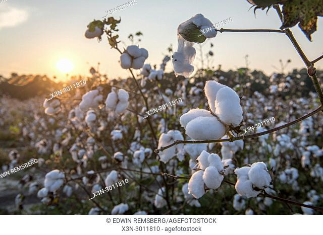 Sunsets in the background of bountiful cotton field in Tifton, Georgia. USA