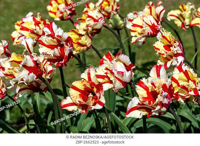 The beauty of blooming tulips, Tulipa 'Flaming Parrot'