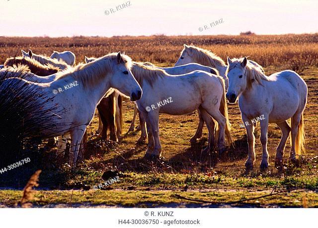 Camargue-horses, Equidae, horses, herd, mammal, animal, swamp aerea, Camargue, Bouches-du-Rhône departement, France