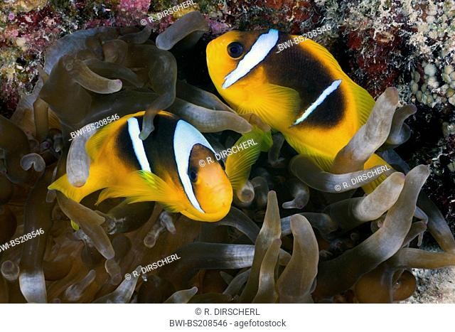 two-banded anemonefish, twoband anemonefish, red-sea anemonefish, Twobar anemone fish (Amphiprion bicinctus), two individuals in a sea anemone, Egypt, Red Sea