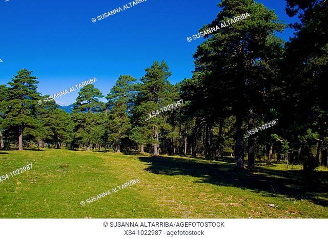 Firs Abies in the Serra de Busa, Solsones, Lleida, Catalonia, Spain, Europe