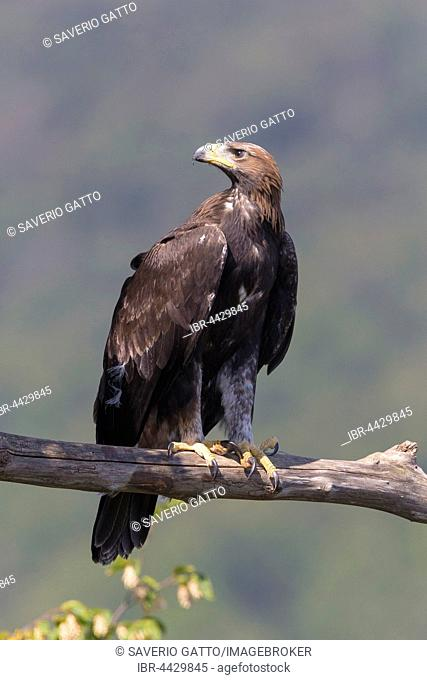 Golden eagle (Aquila chrysaetos), juvenile perched on dead branch, Campania, Italy