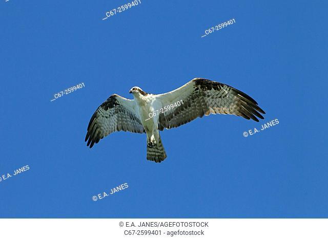 Osprey Pandion haliaetus in flight March Fort Myers beach Gulf coast Florida USA