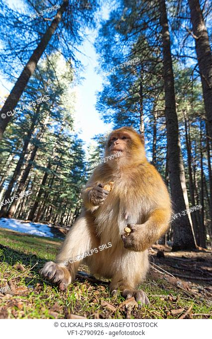 Atlas, Morocco. Barbary monkeys in the forest