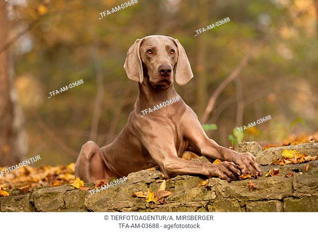 lying shorthaired Weimaraner