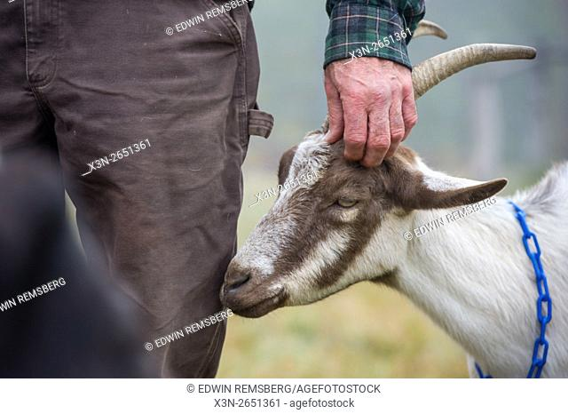 Man's Hand on an Alpine goat (Capra aegagrus hircus) on a dairy farm in Harrison, Maine
