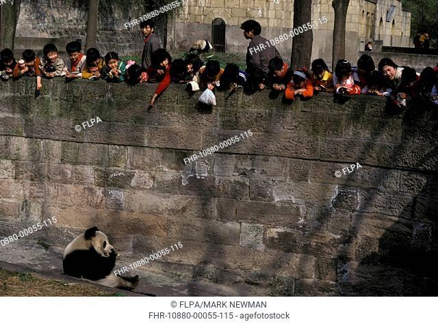 Panda Ailuropoda melanoleuca Sitting / next to wall / feeding / Chinese Zoo
