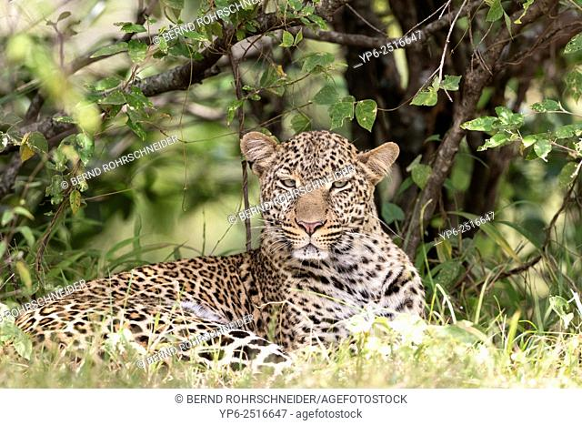 Leopard (Panthera pardus) lying, Masai Mara, Kenya