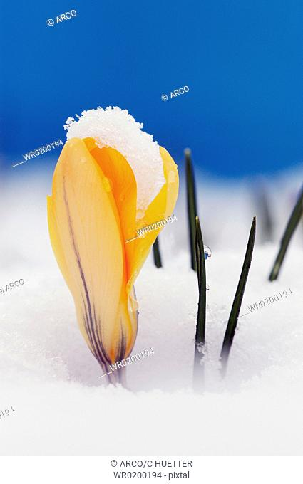 Crocus, with, snow,Crocus, spec