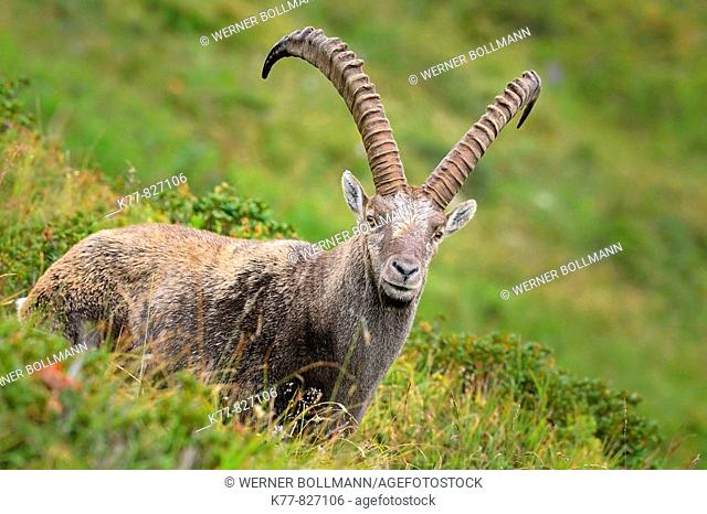 Alpine Ibex (Capra ibex), male/buck. Niederhorn, Switzerland
