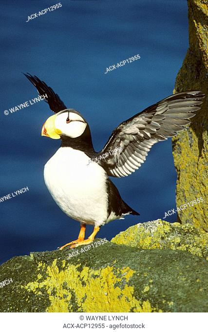 Adult horned puffin Fratercula corniculata settling feathers on a seaside nesting cliff, northern British Columbia, Canada