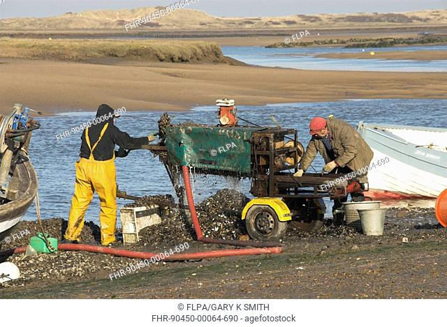 Fishermen grading mussels in tidal harbour, Burnham, North Norfolk, England, february