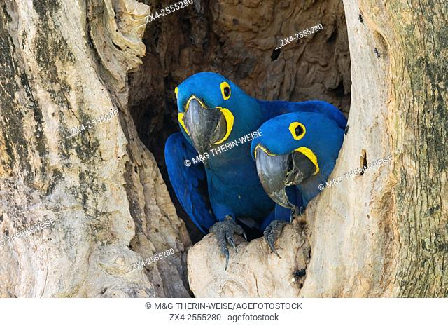 Couple of Hyacinth Macaws (Anodorhynchus hyacinthinus) in its tree nest, Pantanal, Mato Grosso, Brazil