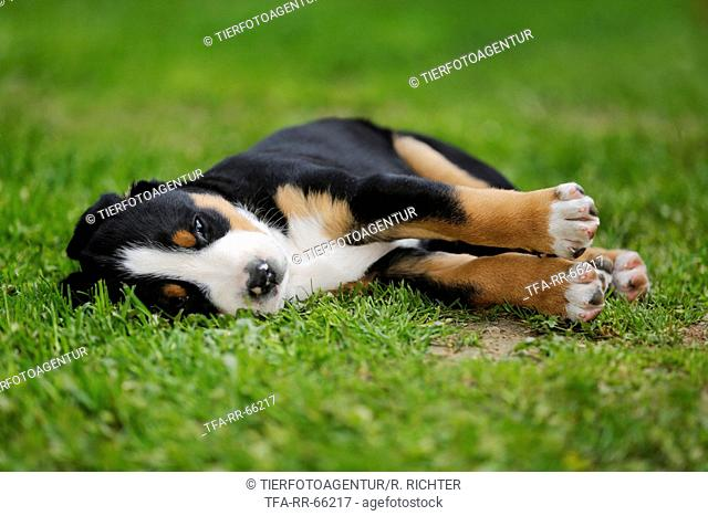 Greater Swiss Mountain Dog Puppy in the countryside