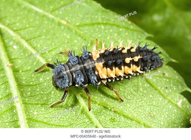 Asian Ladybird Beetle (Harmonia axyridis) larva, Den Helder, Noord-Holland, Netherlands