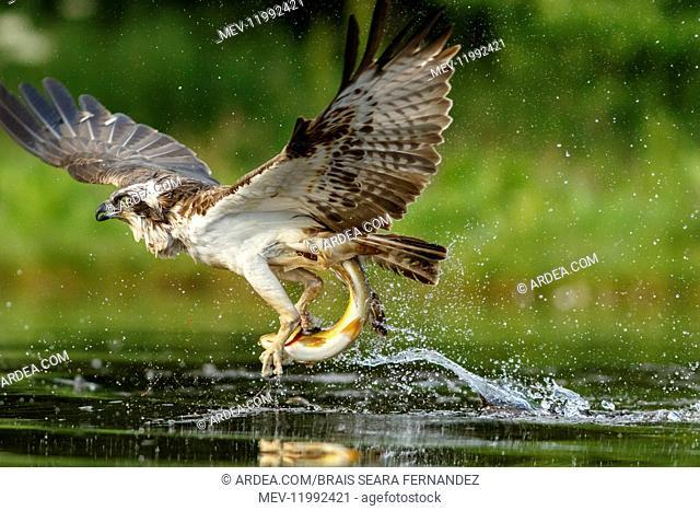 Osprey - fishing on lake - Sctoland, United Kingdom