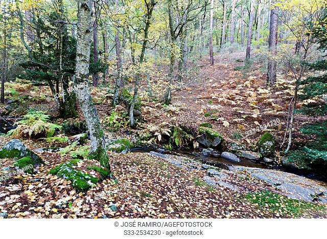 Fall in the Canencia Birch. Sierra de la Morcuera. Madrid. Spain. Europe