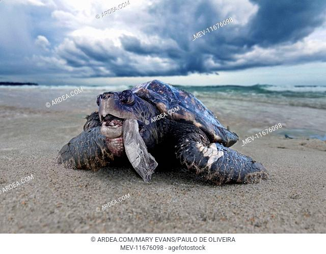 Sea Turtle blind and wounded turtle choked to death by plastic bag (composite image)