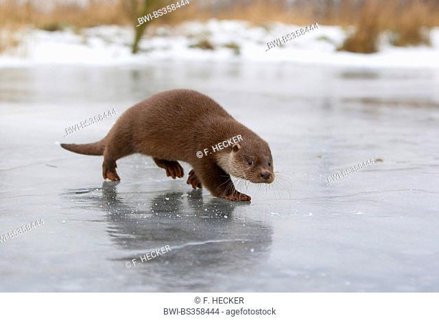 European river otter, European Otter, Eurasian Otter (Lutra lutra), female walking on a frozen up ice cap, Germany