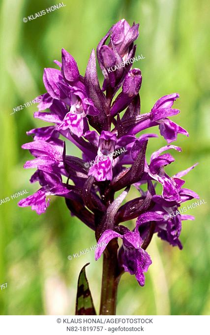 Broad-leaved Marsh Orchid or Western Marsh-Orchid Dactylorhiza majalis blooming in an wet meadow  Close up of flower spike - Bavaria/Germany