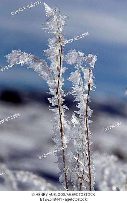 Hard Frost, Ice's crystal, Yellowstone National Park , Wyoming , USA