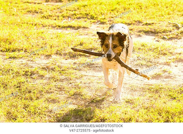 Dog playing with a stick in the garden, Valencia, Spain