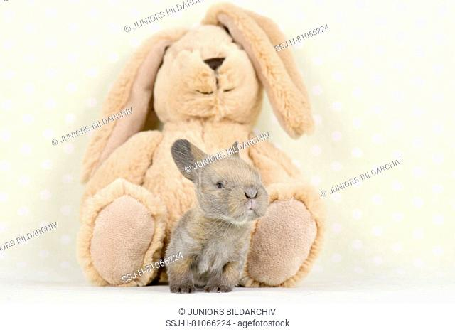 Dwarf Lop-eared Rabbit. Baby (11 days old) next to a plush hare. Studio picture. Germany