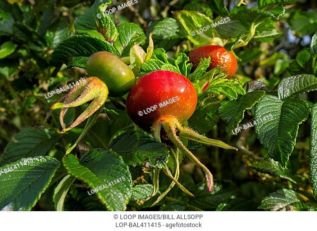 Rose hips ripening in autumn