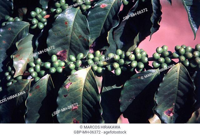 tree, coffee, grains, leaves, Scientific name, Coffea arabica