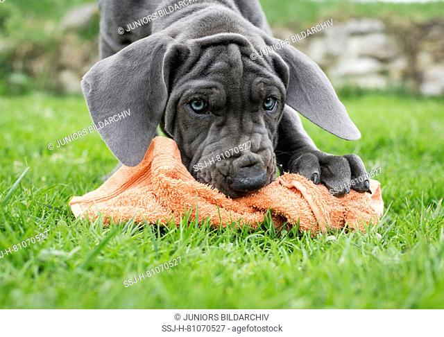 Great Dane. Puppy playing with a knotted towel. Germany
