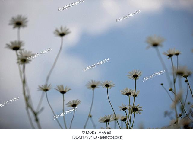 Daisies against the sky