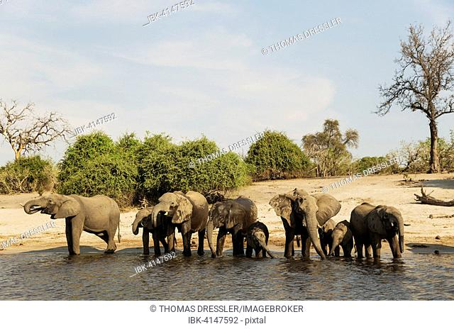 African Elephant (Loxodonta africana), breeding herd drinking at the bank of the Chobe River, photographed from a boat, Chobe National Park, Botswana