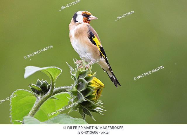 Goldfinch (Carduelis carduelis) sitting on sunflower (Helianthus annuus), Hesse, Germany
