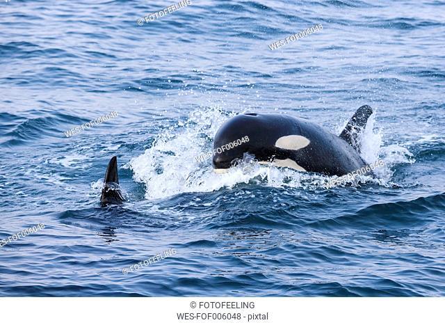 USA, Alaska, Seward, Resurrection Bay, two killer whales (Orcinus orca)