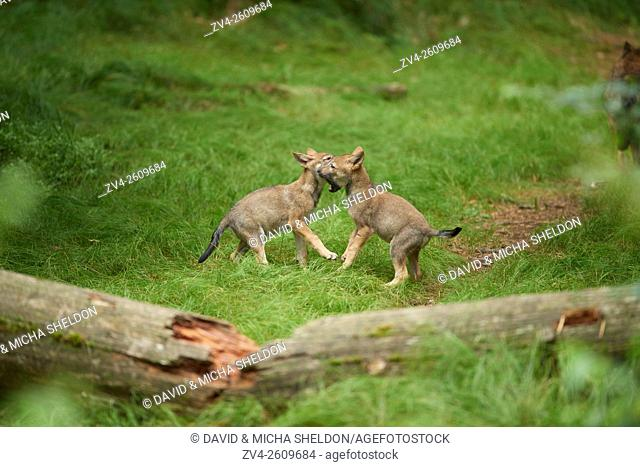 Close-up of two Eurasian wolf (Canis lupus lupus) puppies in the Bavarian forest in summer, Germany