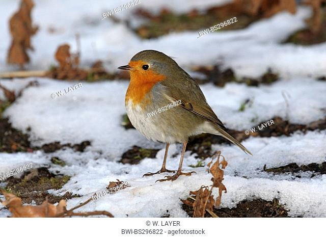 European robin (Erithacus rubecula), sitting on the ground in snow, Germany